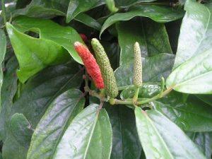 Piper Retrofractum Fructus — Komposisi Suprema